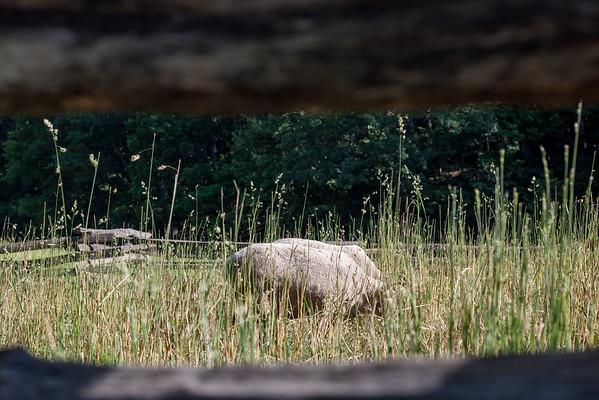 Mount Vernon Sheep