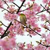メジロとさくら(This picture was taken in Kawazu on Izu Peninsula.  The cherry blossoms there bloom in February.  There were a lot of white-eyes too.  Those birds come to our apricot tree in our Tokyo house when it is blooming)