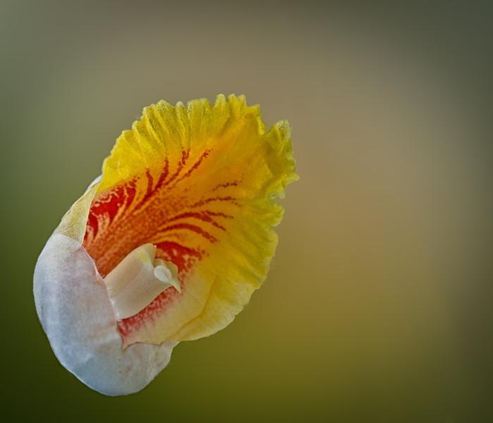 Shell Ginger - Alpinia zerumbet