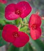 Trio of Euphorbia geroldiis  -Thornless Euphorbia