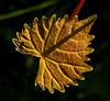 Back lit Muscadine leaf