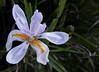 Iris - Dietes Grandiflora