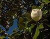 Magnolia Tree Flower