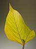 Back lit leaf