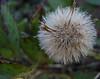 Calliandra haematocephala