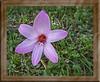 Crinum Elizabeth Traub flower