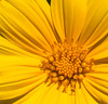 Honeycombhead - Balduina angustifolia