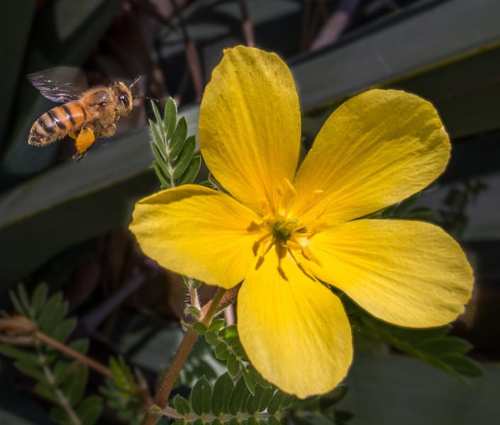 Honey Bee flying into a Hippeastrum reginae