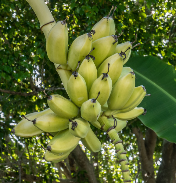 Some locally grown bananas