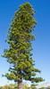 Coral-reef - Araucaria Araucaria columnaris