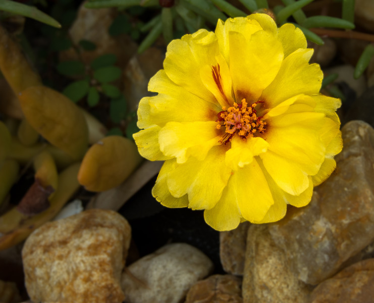 Moss rose - Portulaca grandiflora