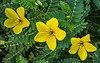 A trio of Puncturevine flowers - Tribulus Terrestris