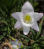 Rainlily - Zephyranthes