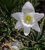 Rainlily - Zephyranthes