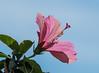 Back-lit Hibiscus