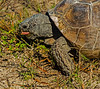 Gopher Tortoise with its red tongue sticking out at me Nah nah a boo boo!