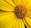 Tithonia diversifolia Im blooming for you!
