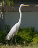 Great Egret walking around a neighbor's house check me out!