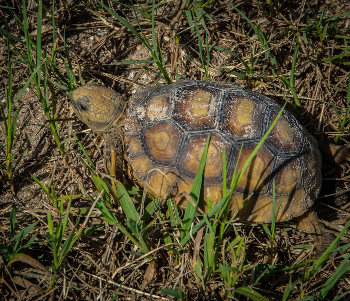Immature Gopher Tortoise