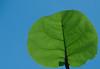 Back-lit Sea Grape Leaf
