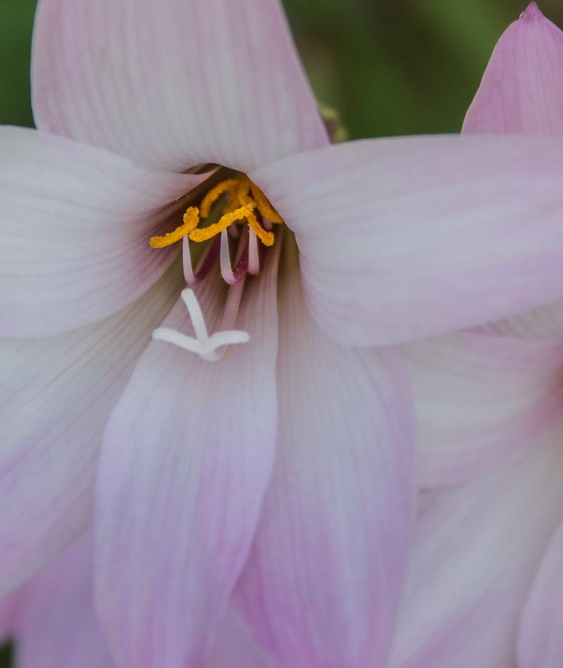 Rain Lily - Zepheranthes sp