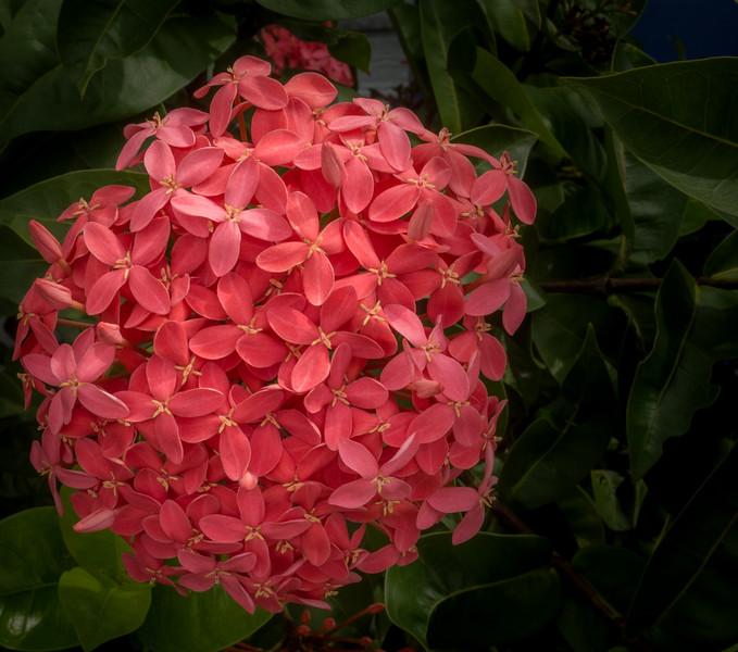 Ixora cv.