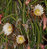 Night Blooming Cereus - Hylocereus undatus
