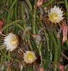 Night Blooming Cereus - Hylocereus undatus