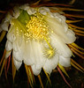 • Night Blooming Cereus - Hylocereus undatus<br /> • I took this photograph at 5:45AM in the morning.