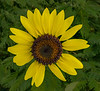 Southeastern Sunflower