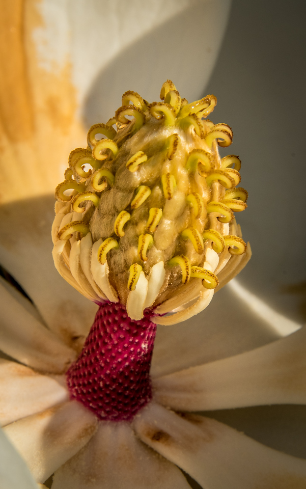 Seed Pod inside a Magnolia Tree Blooms
