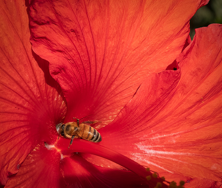 Hibiscus with a bee in it