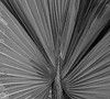 B&W photo of a palm frond