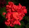 Calliope Red Geranium