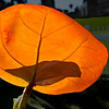 Back-lit Sea Grape Leaf with a shadow from another one.