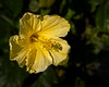 A yellow Hibiscus with a shadow