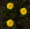 A trio of Dandelions