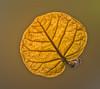 Back-lit Seagrape leaf