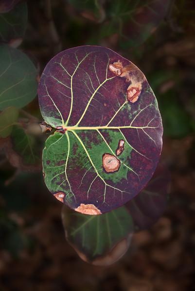 A decaying Sea Grape Leaf