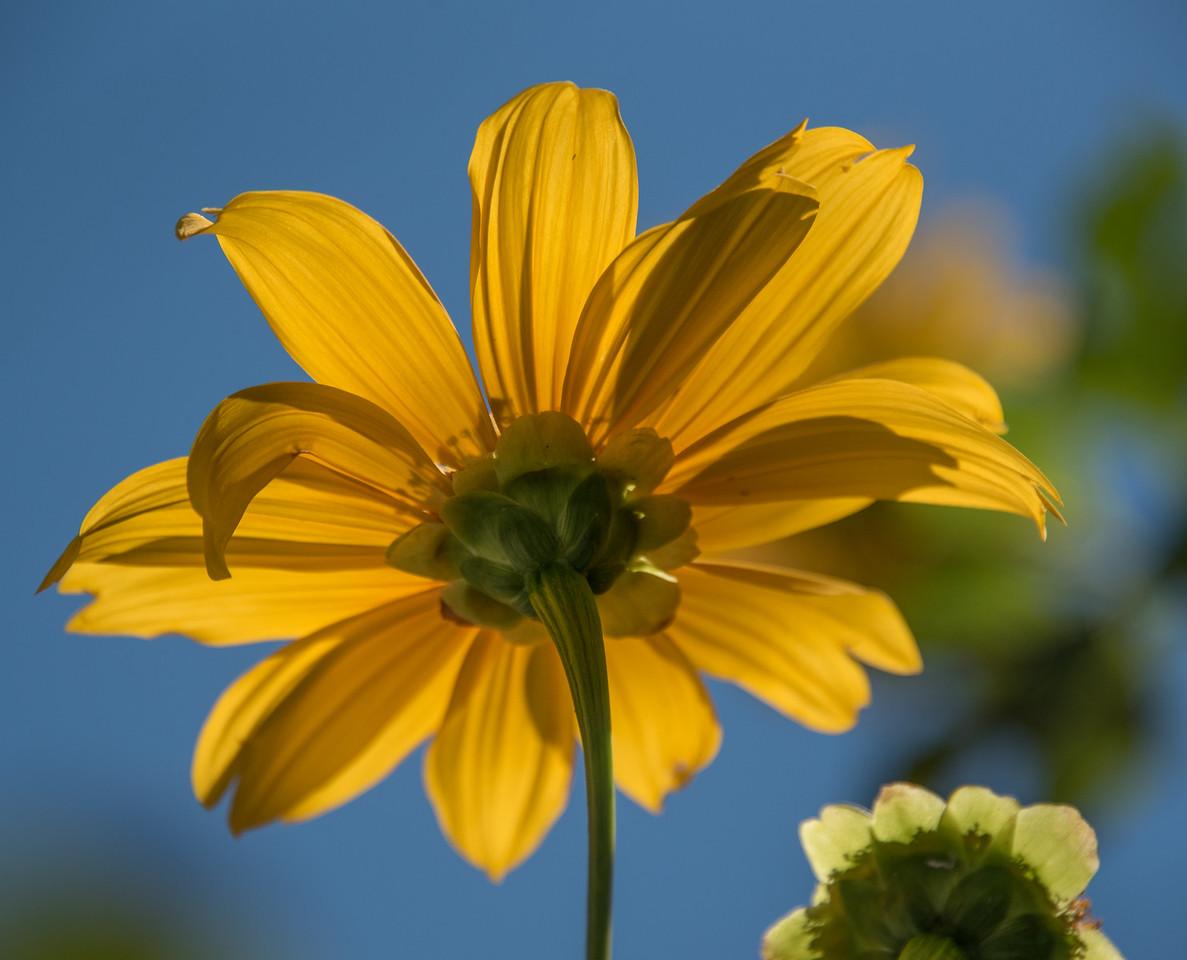 Back-lit Yellow Daisy