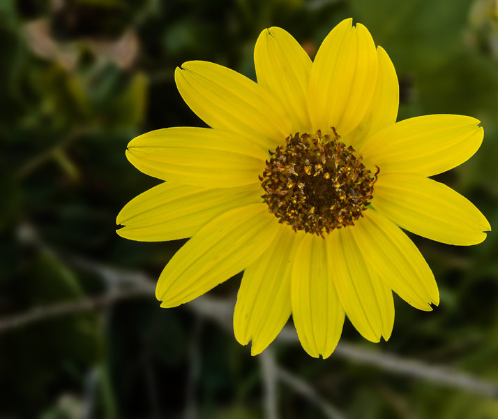 • Location - Indialantic Neighborhood<br /> • Narrow-Leaved Sunflower