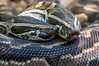• Location - Brevard Zoo<br /> • A pair of Python snakes