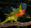 • Location - Brevard Zoo<br /> • Lorikeets