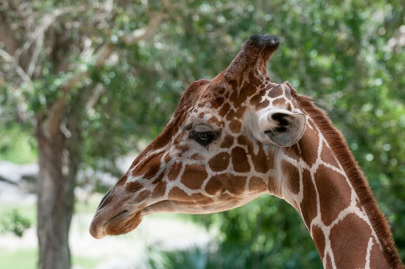 • Location - Brevard Zoo<br /> • Close-up of a Giraffe