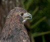 • Location - Brevard Zoo<br /> • Red-shouldred Hawk