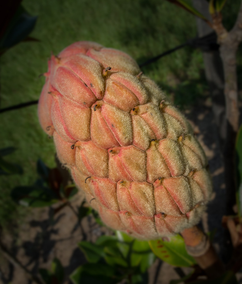 Magnolia Tree Flower Bud