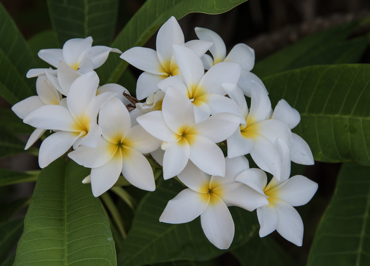 • Location - Melbourne Beach<br /> • Frangipani Flower