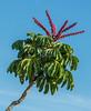 • Location - Indialantic<br /> • Schefflera actinophylla