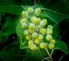 • Location - Indialantic<br /> • Milkweed Plant