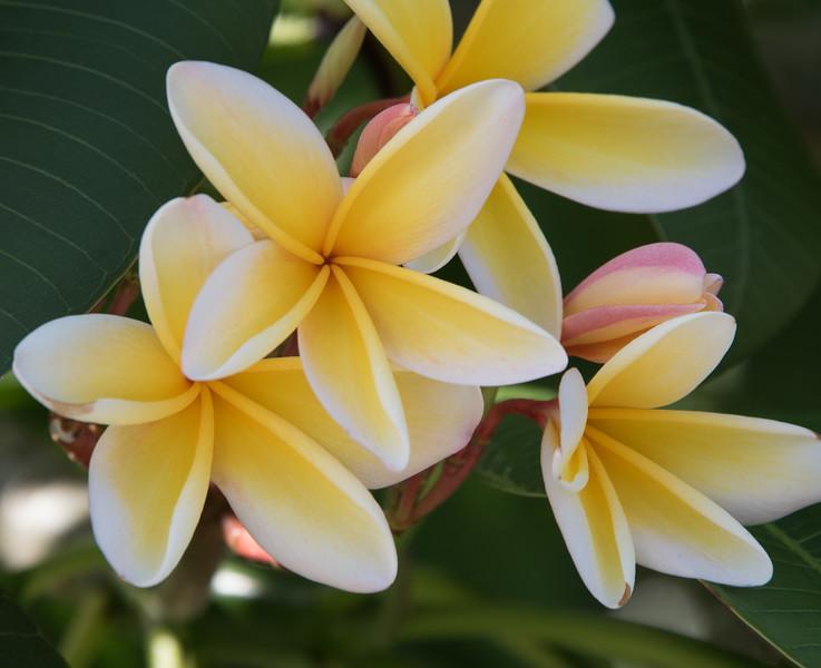• Location - Melbourne Beach<br /> • Frangipani Flower